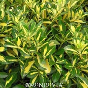 Gold Spot Euonymus