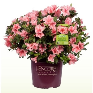 Truck Load Sale for Encore Azaleas