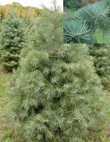 Concolor Fir Fresh cut Christmas tree