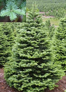Noble Fir Tree Fresh cut Christmas tree