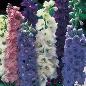 Double, Dwarf Delphiniums