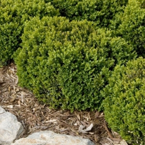 Monrovias Green Velvet Boxwood Shrubs