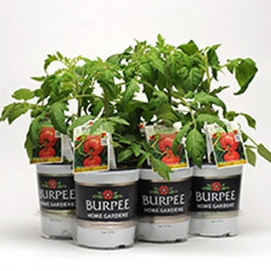 Burpee® Bumper Crop Grafted Tomatoes
