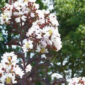 First Editions® Moonlight Magic™ Crape Myrtle