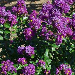 First Editions® Purple Magic™ Crape Myrtle