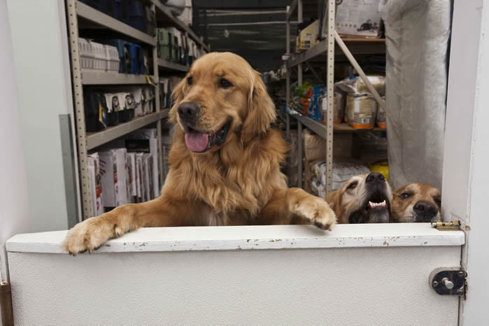 Image of three golden retrievers behind a half door