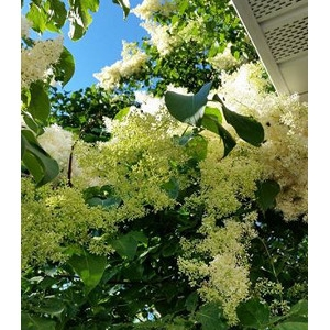 White Japanese Tree Lilac