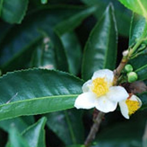 Camellia sinensis - The Tea Plant