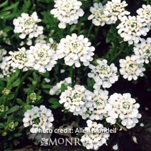 Candytuft - Iberis sempervirens