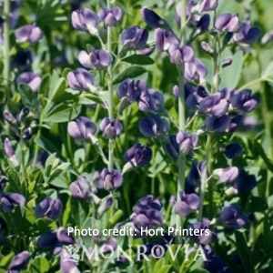 False Indigo - Baptisia