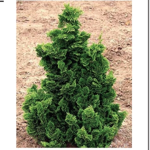 Dwarf hinoki false cypress plymouth nursery for Specimen evergreen trees small