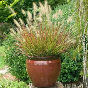 Burgundy Bunny Dwarf Fountain Grass