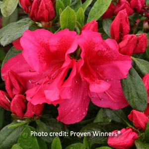 Bloom-a-Thon® Series of Azaleas