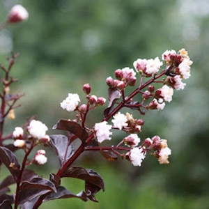 Black Diamond™ Crape Myrtle - 'Ebony Glow'
