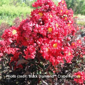 Black Diamond™ Crape Myrtle - 'Crimson Red'