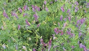 Vetch Purple Bounty 50 Lb