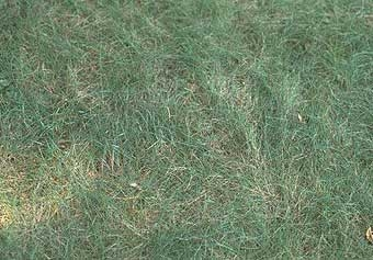 Creeping Fescue Red 50lb