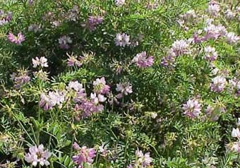Vetch Crown 1lb