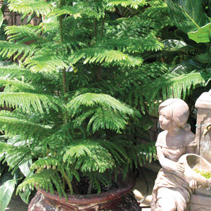 All About the Norfolk Island Pine Louisiana Nursery