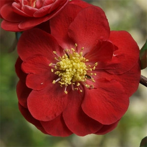 Double Take 'Scarlet Storm' Quince