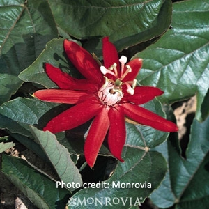 'Red Passion Vine' Passiflora