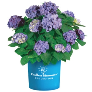'Bloomstruck' Endless Summer Hydrangea
