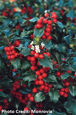 'Blue Princess' Holly