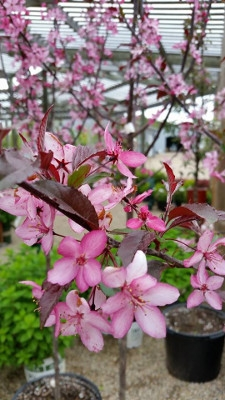 'Royal Raindrops' Flowering Crabapple
