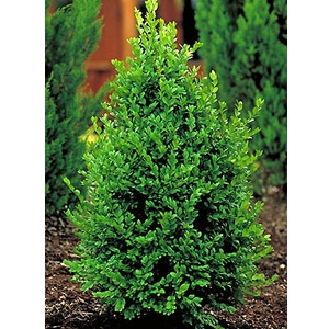 Green Mountain Boxwood
