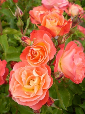Easy Elegance 'Coral Cove' Rose