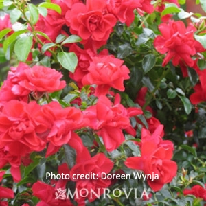'Flower Carpet Scarlet' Groundcover Rose