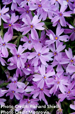 'Emerald Blue' Creeping Phlox subulata