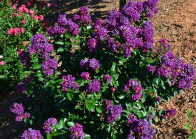 'Purple Magic™' Crape Myrtle, 3 gallons by First Edition Plants