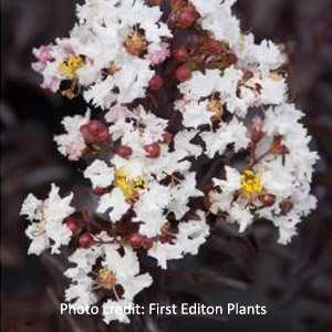 'Moonlight Magic'™ Crape Myrtle by First® Edition Plants
