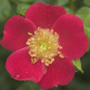 Oso Easy Cherry Pie Rose