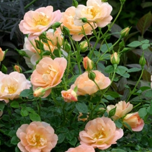 Oso Easy Peachy Rose
