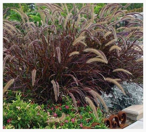 Purple Fountain Grass Louisiana Nursery