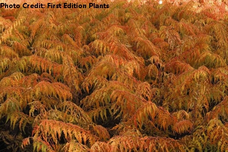 'Tiger Eyes' Sumac by First Edition Plants