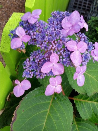 'Twist N' Shout' Endless Summer Hydrangea