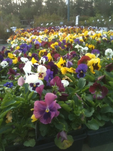 Cool Weather Loving Pansies!