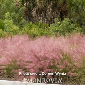 Regal Mist® 'Pink Muhly' Grass