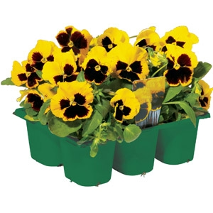 Domina's Agway Pansies Assorted Colors