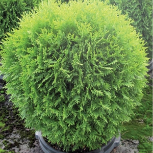 Shrubs - Click here for varieties