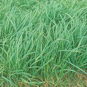 Farm Science Genetics Extend Orchard Grass