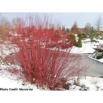 'Red Twig' Dogwood