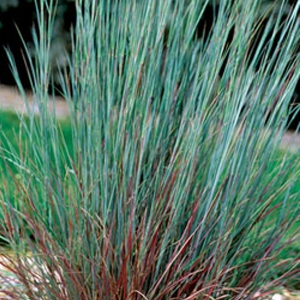 The Blues' Little Bluestem