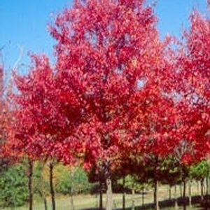 'Sun Valley' Red Maple Tree