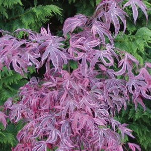 'Shirazz' Variegated Japanese Maple Tree