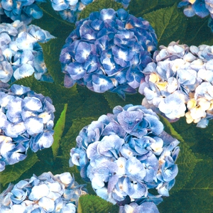 Bailey's Endless Summer Hydrangeas, Original