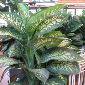 10'' Potted Dumbcane Tropical Houseplant